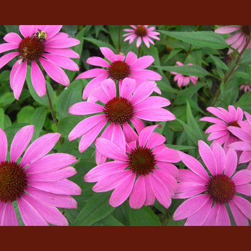 dr-della-parker_boost-your-immune-system-with-echinacea